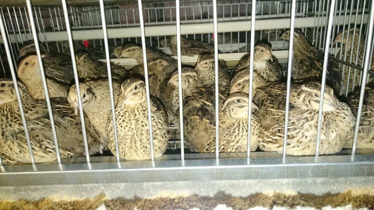 Nizip MYO'dan Bıldırcın Yumurtası Üretim Çiftliği'ne Gezi-02